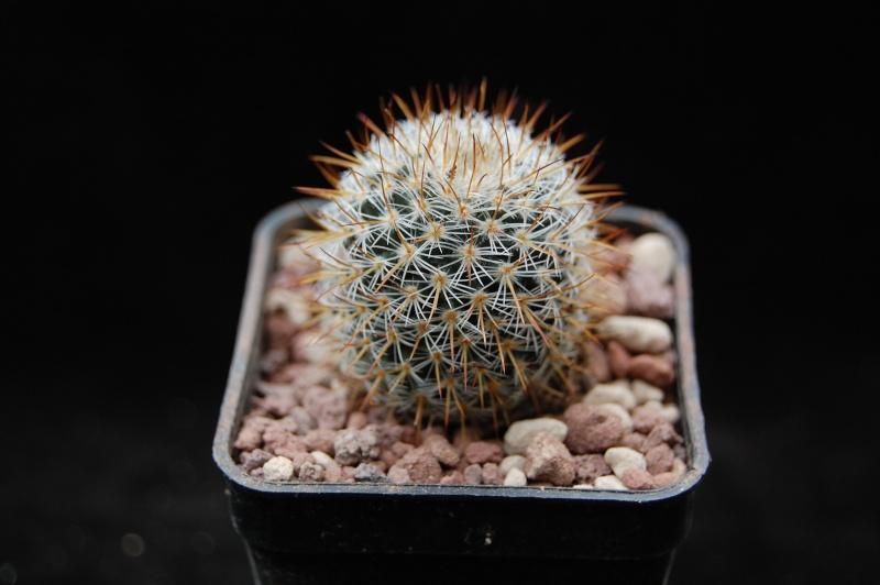 Mammillaria haageana ssp. acultzingensis forma TL 159