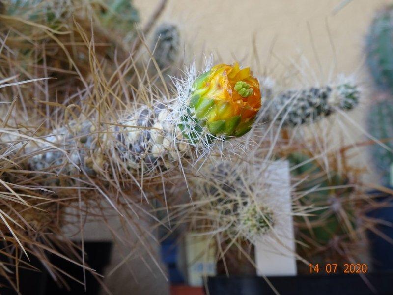 Tephrocactus weberi
