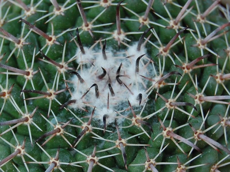 Mammillaria uncinata SB 316