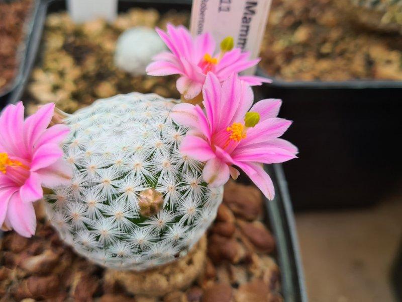 Mammillaria herrerae Lau 711