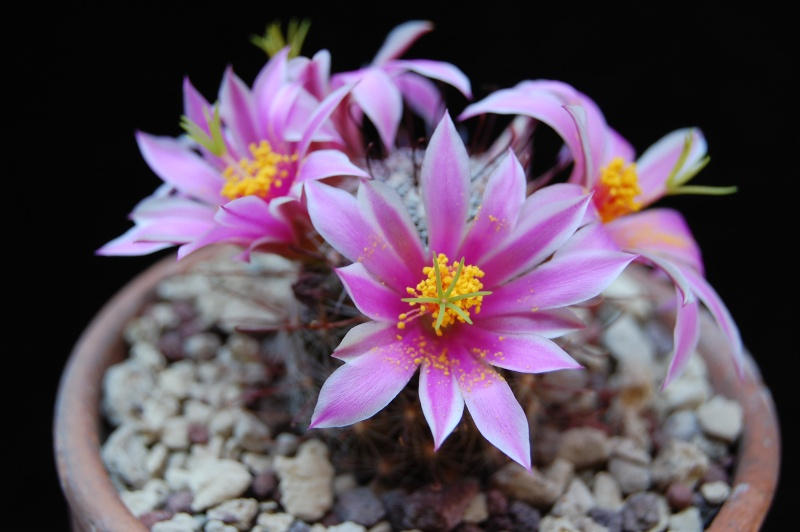 Mammillaria guirocobensis