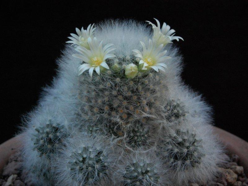 Mammillaria albicoma forma