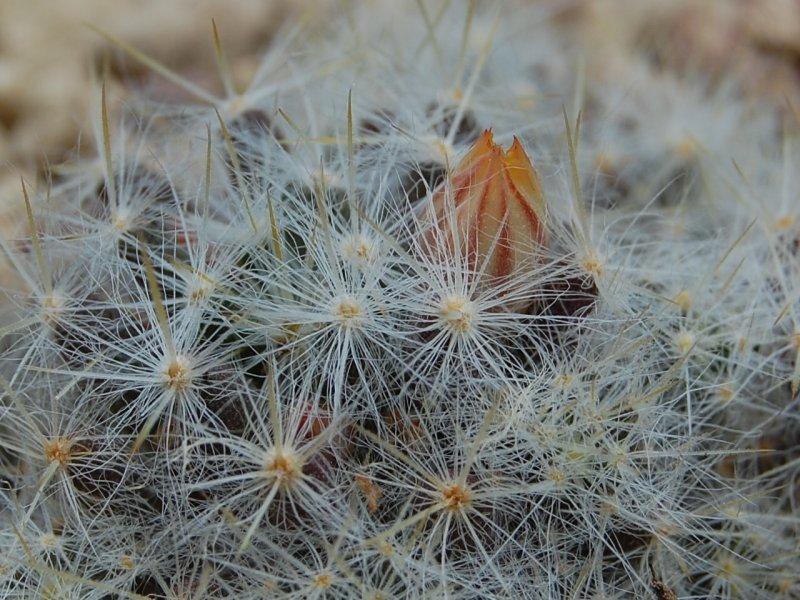 Mammillaria prolifera v. haitiensis REP 1306