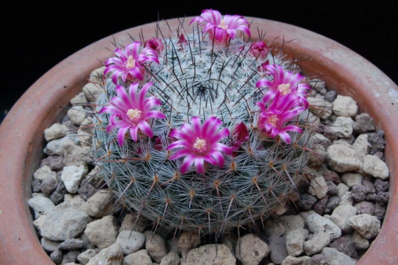Mammillaria aff. woodsii ROG 580