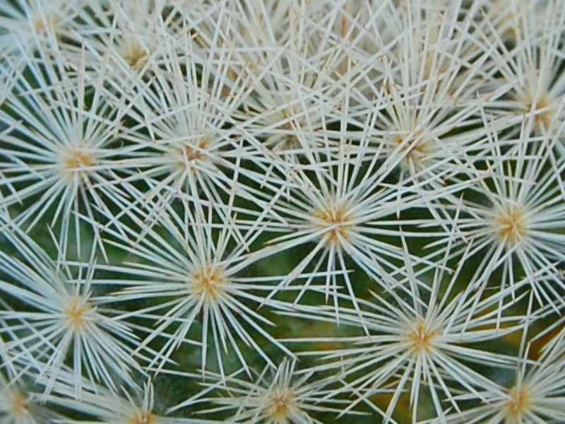 Mammillaria lasiacantha SB 233