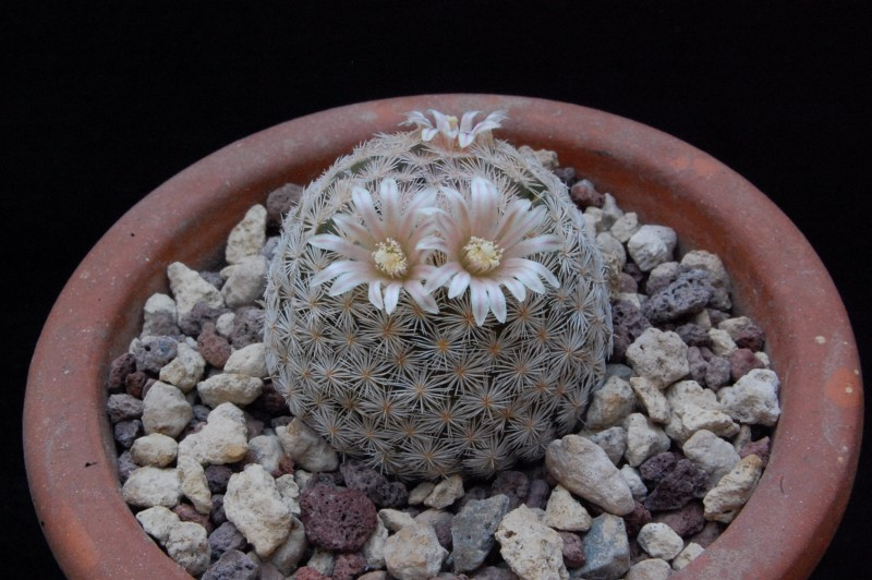 Mammillaria lasiacantha SB 414
