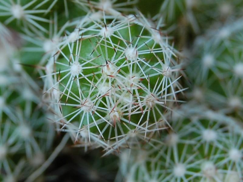Mammillaria sphacelata FO 65