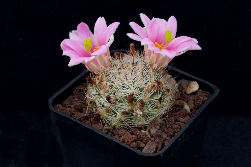 Mammillaria Insularis