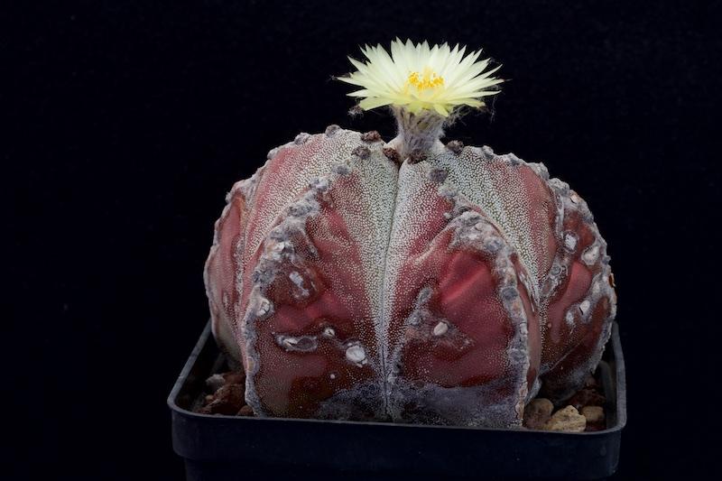 Astrophytum myriostigma v. potosinum