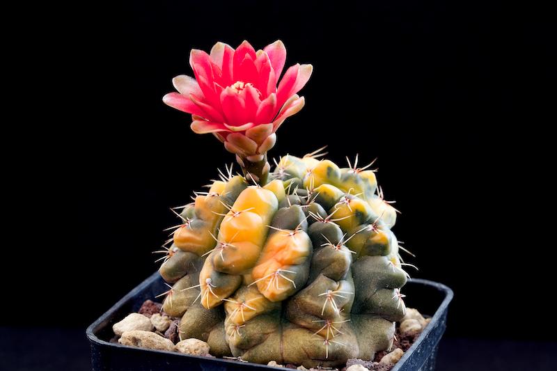 Gymnocalycium baldianum f. variegatum