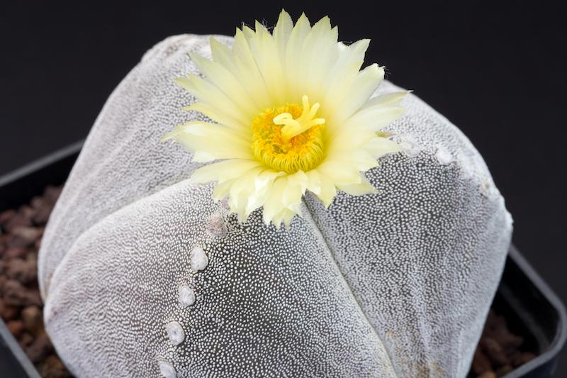 Astrophytum myriostigma f. tricostatum