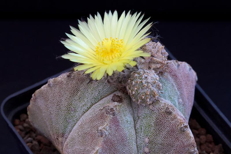 Astrophytum myriostigma ssp. potosinum