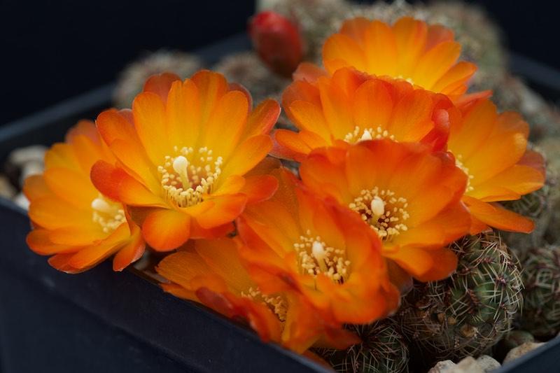 Sulcorebutia tarabucoensis v. aureiflora EK 7080