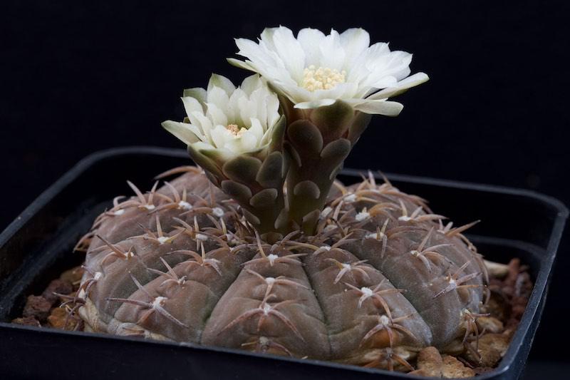 Gymnocalycium stellatum v. paucispinum