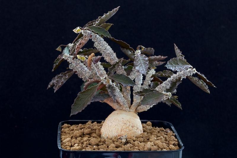 Euphorbia ambovombensis