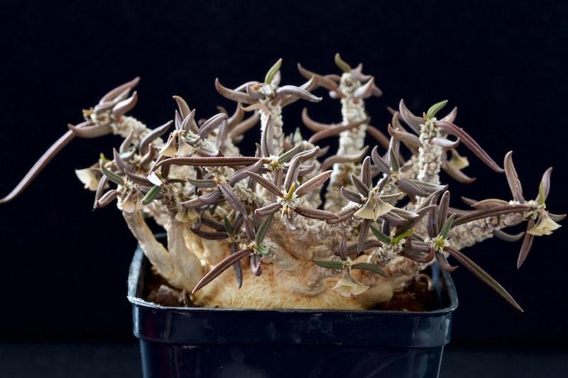 Euphorbia cylindrifolia ssp. tuberifera