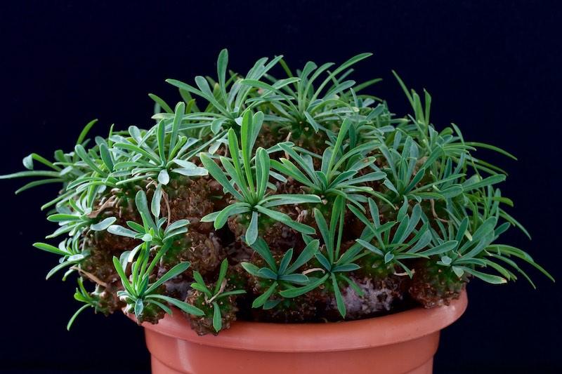 Euphorbia x japonica