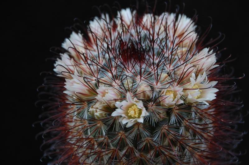 Mammillaria moelleriana ROG 003a