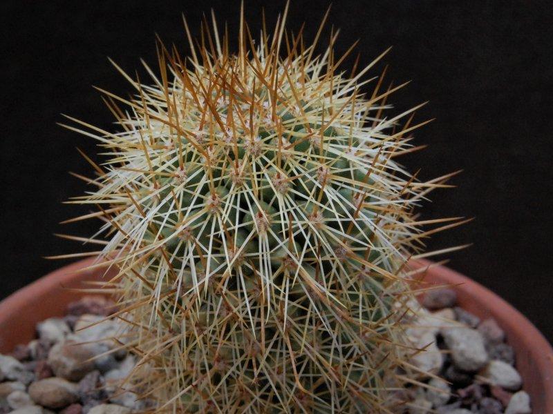 Mammillaria cerralboa LAU 39