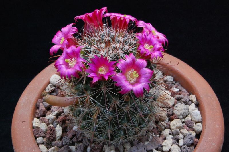 Mammillaria sanjuanensis ML 269