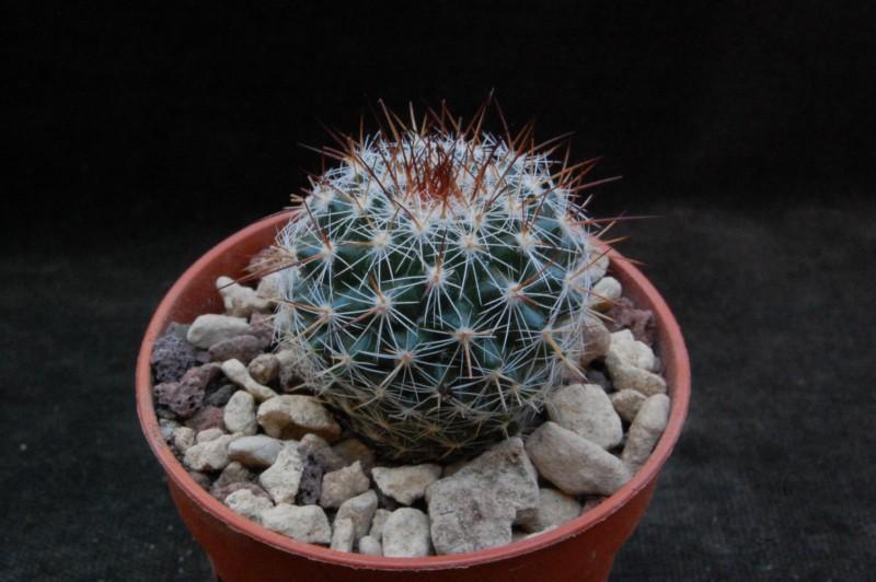 Mammillaria aff. montensis ROG 735