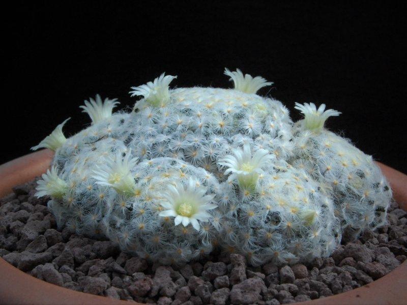 Mammillaria schiedeana f. plumosa