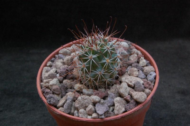 Mammillaria fraileana LAU 35
