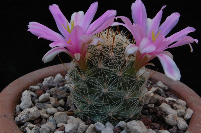 Mammillaria boolii REP 819