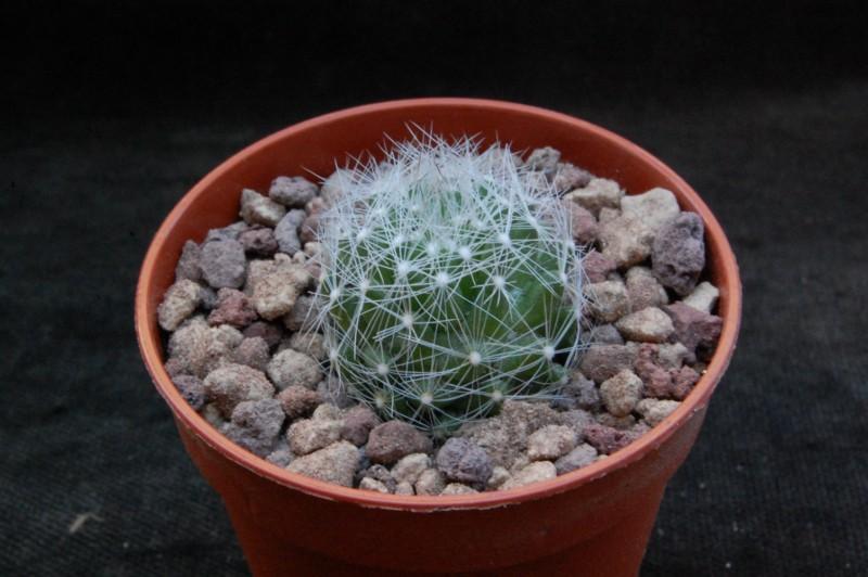 Mammillaria kraehenbuehlii ML 36