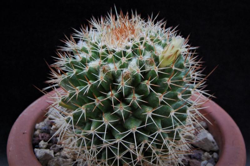 Mammillaria karwinskiana ssp. beiselii