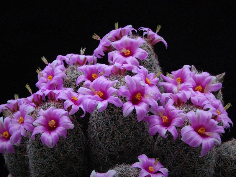 Mammillaria alamensis WH 188