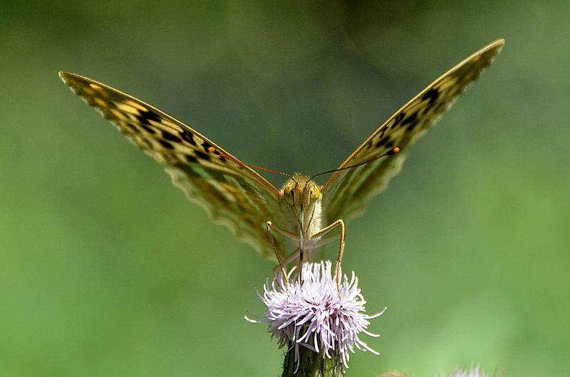 Argynnis paphia - femmina