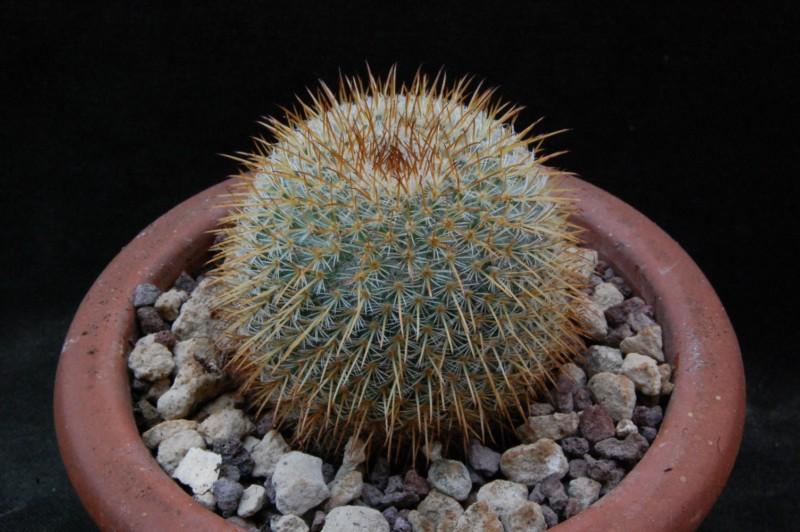 Mammillaria aff. flavicentra ROG 138