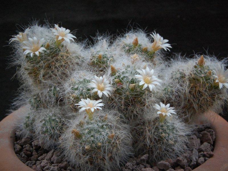 Mammillaria scheinvariana