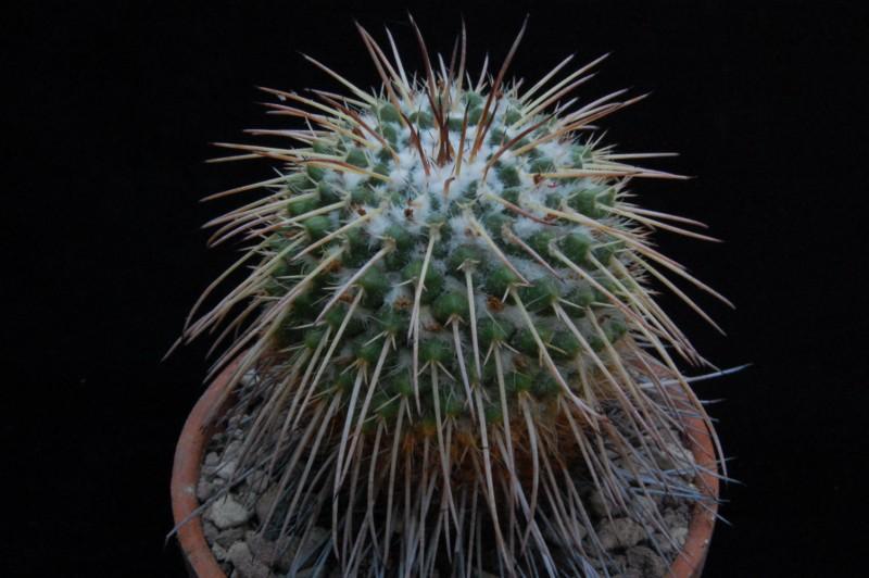 Mammillaria bernalensis REP 786