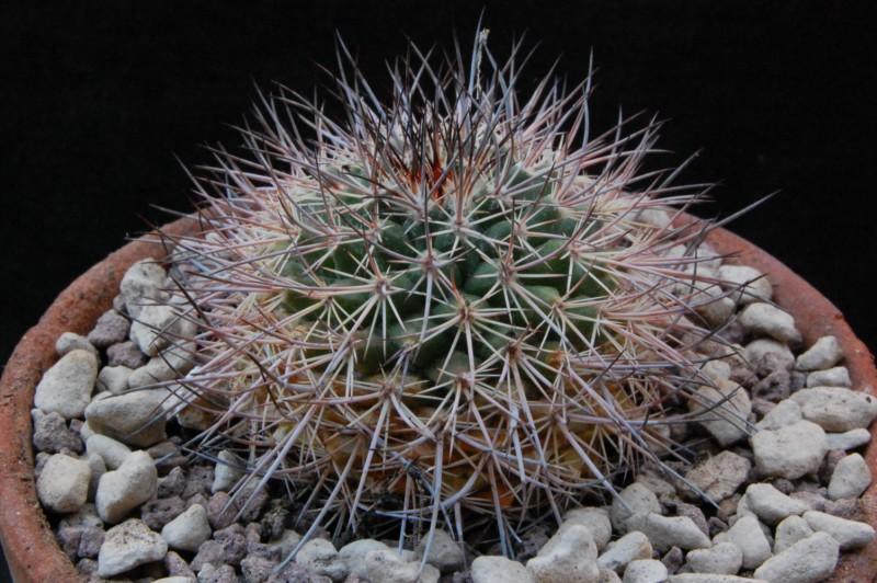 Mammillaria johnstonii