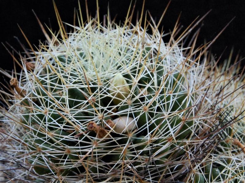 Mammillaria decipiens FO 140