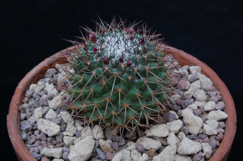 Mammillaria xochipilli TL 422