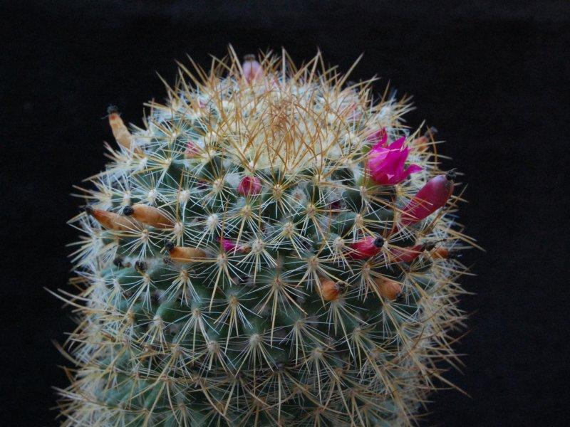 Mammillaria odieriana REP 1172