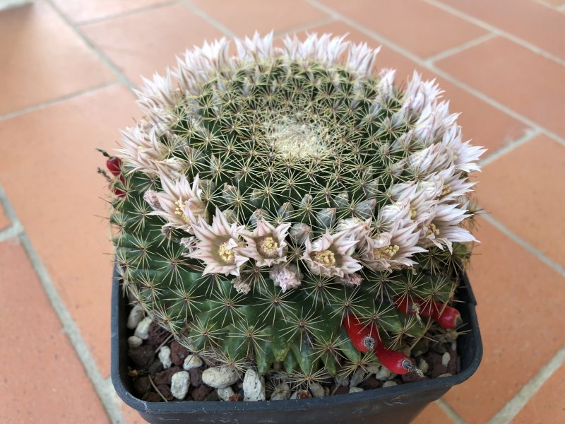 Mammillaria heyderi
