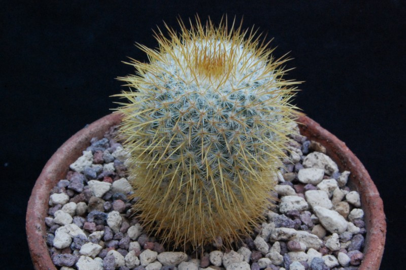 Mammillaria flavicentra ROG 378