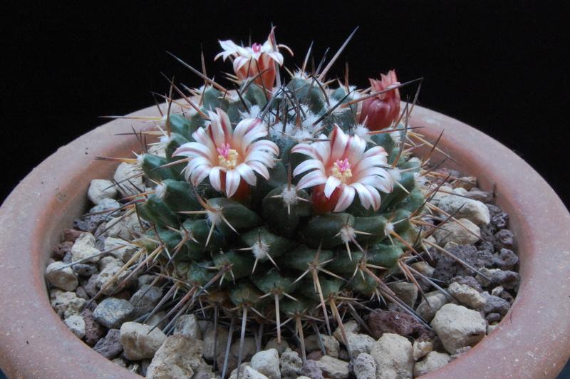 Mammillaria aff. macracantha REP 171a
