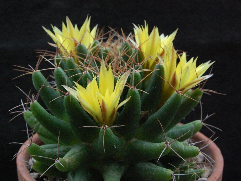 Mammillaria uberiformis