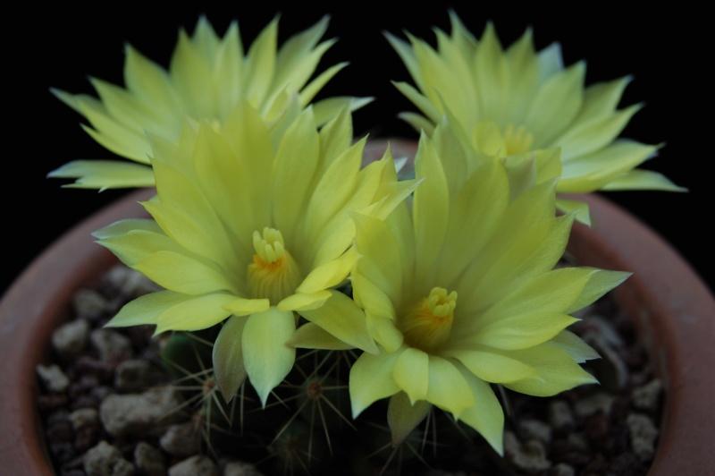Mammillaria sphaerica REP 394