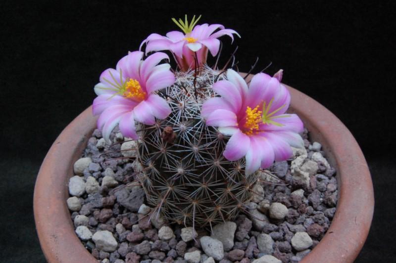 Mammillaria alamensis REP 567