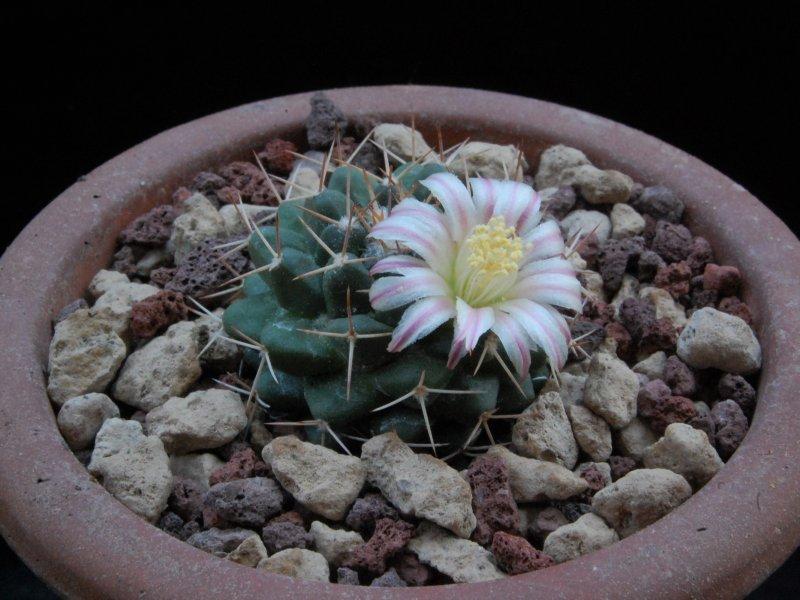 Mammillaria boelderliana REP 2207