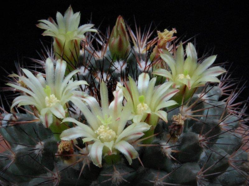 Mammillaria bocensis PN 341
