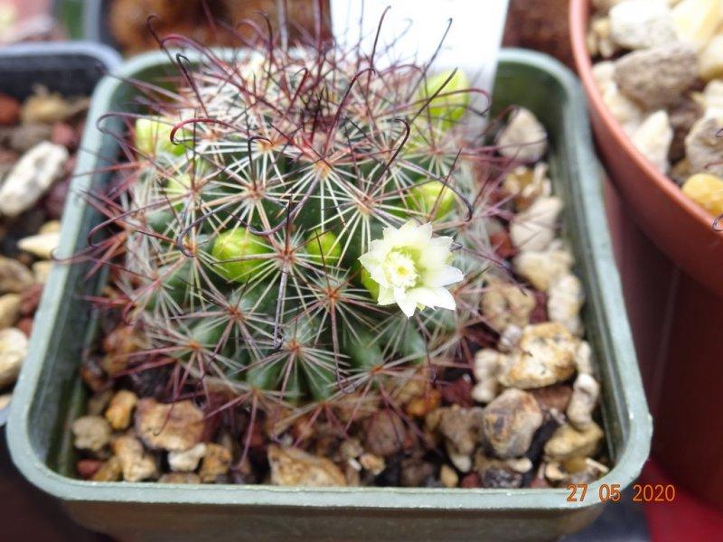 Mammillaria duoformis f. tenango del valle