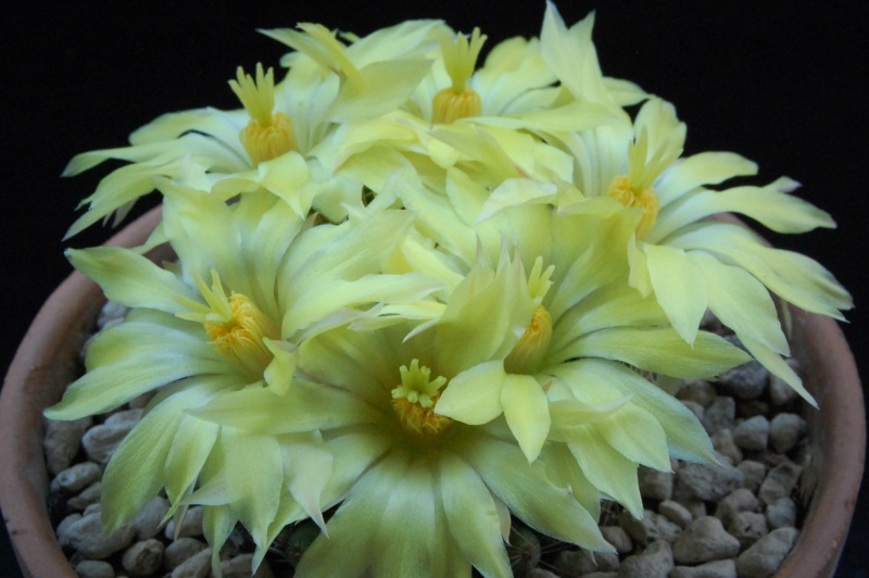 Mammillaria sphaerica GL 40