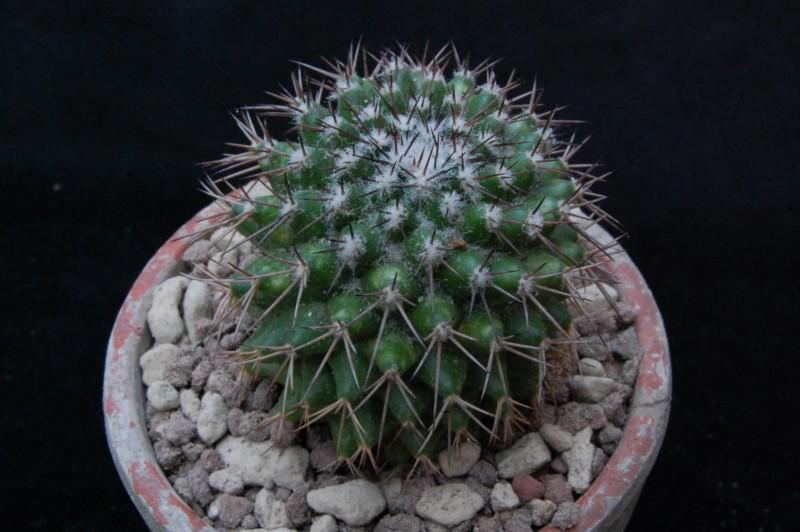 Mammillaria tetracantha